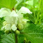 Lamier blanc Ardennes