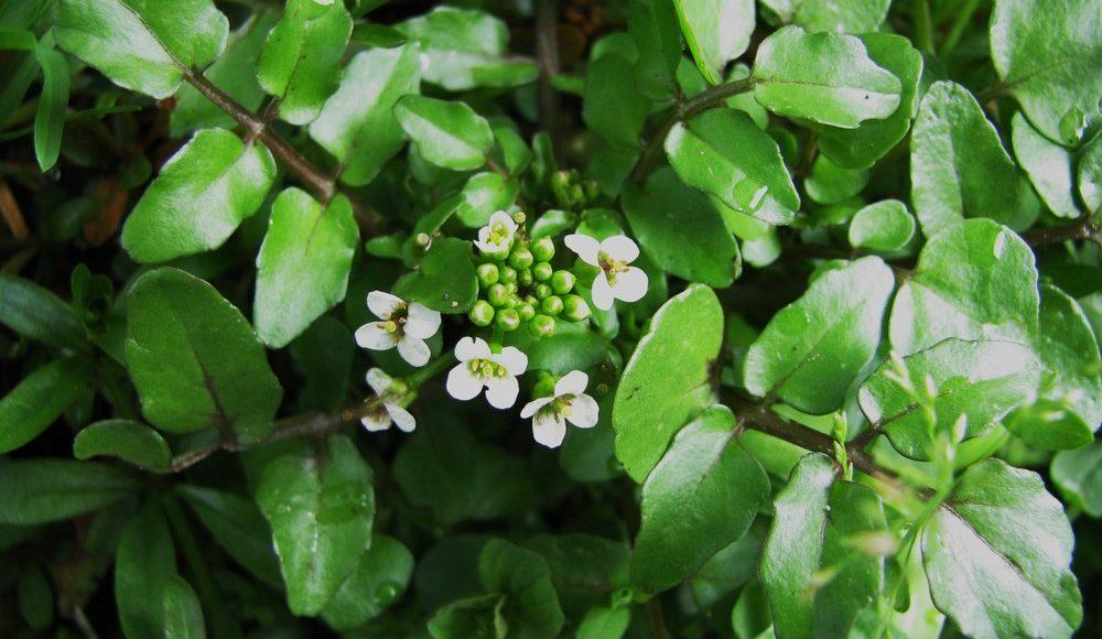 Aroma'Quiz: quelle est cette plante ?
