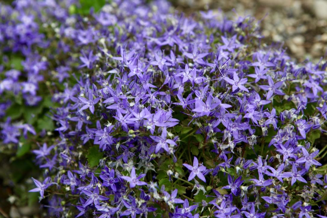 Aroma'Quiz: quelle est cette fleur ?