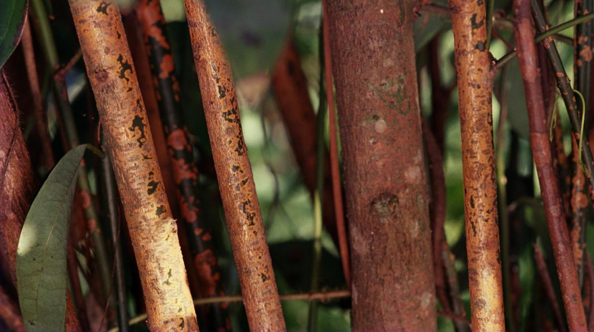 L'huile essentielle de cannelle, un antibiotique naturel