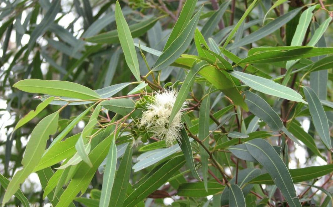 Avec l'huile essentielle d'eucalyptus radié, on respire !