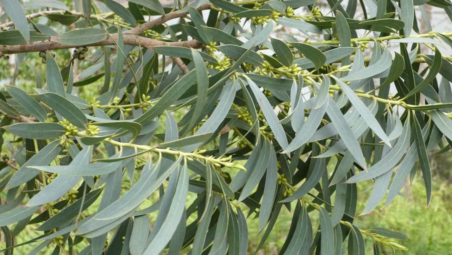Eucalyptus citronné, la championne contre les moustiques