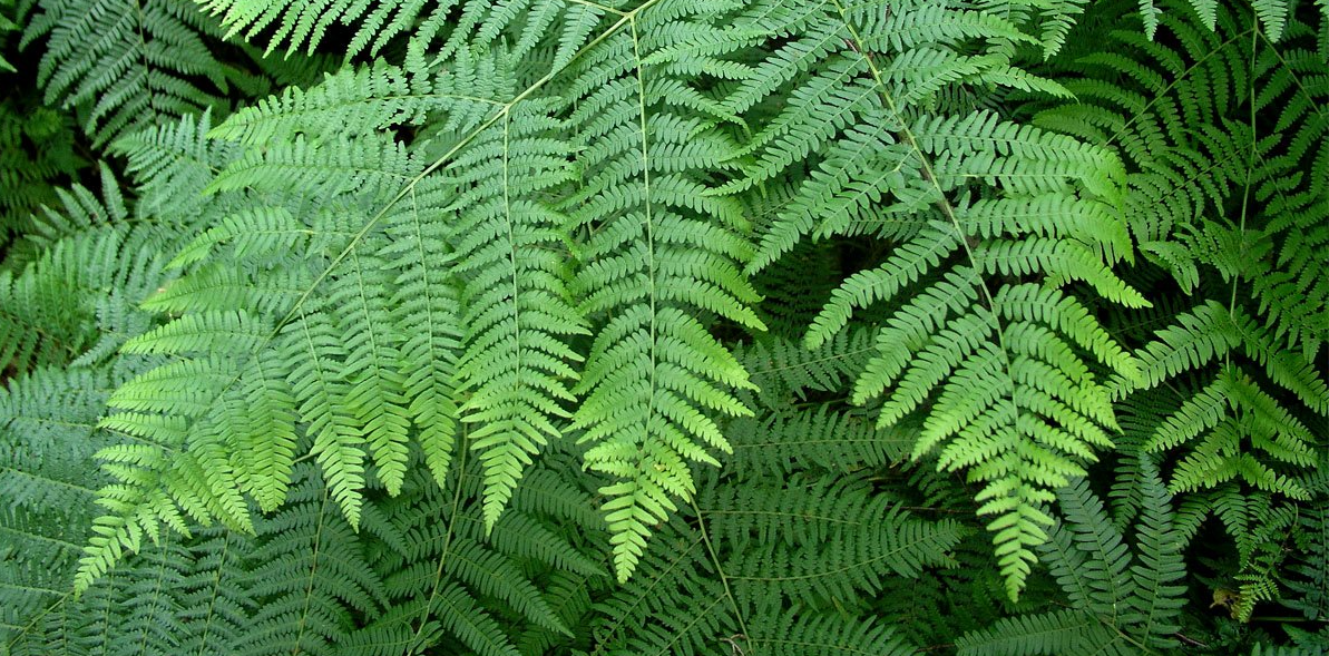AromaQuiz : quelle est cette plante ?