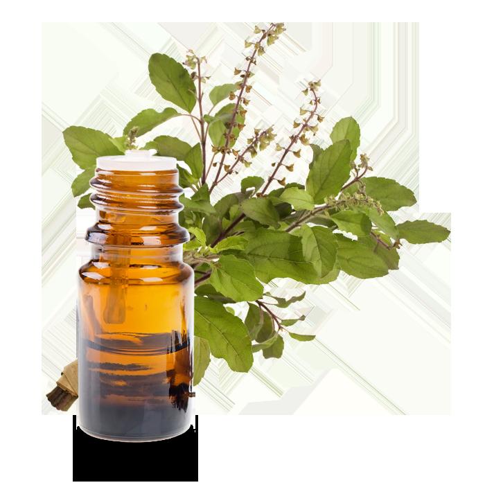 huile essentielle basilic tropical ou exotique