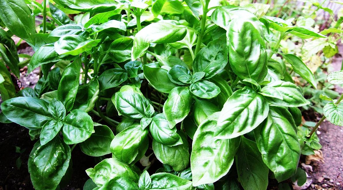 L'huile essentielle de basilic tropical : pour un équilibre digestif et musculaire