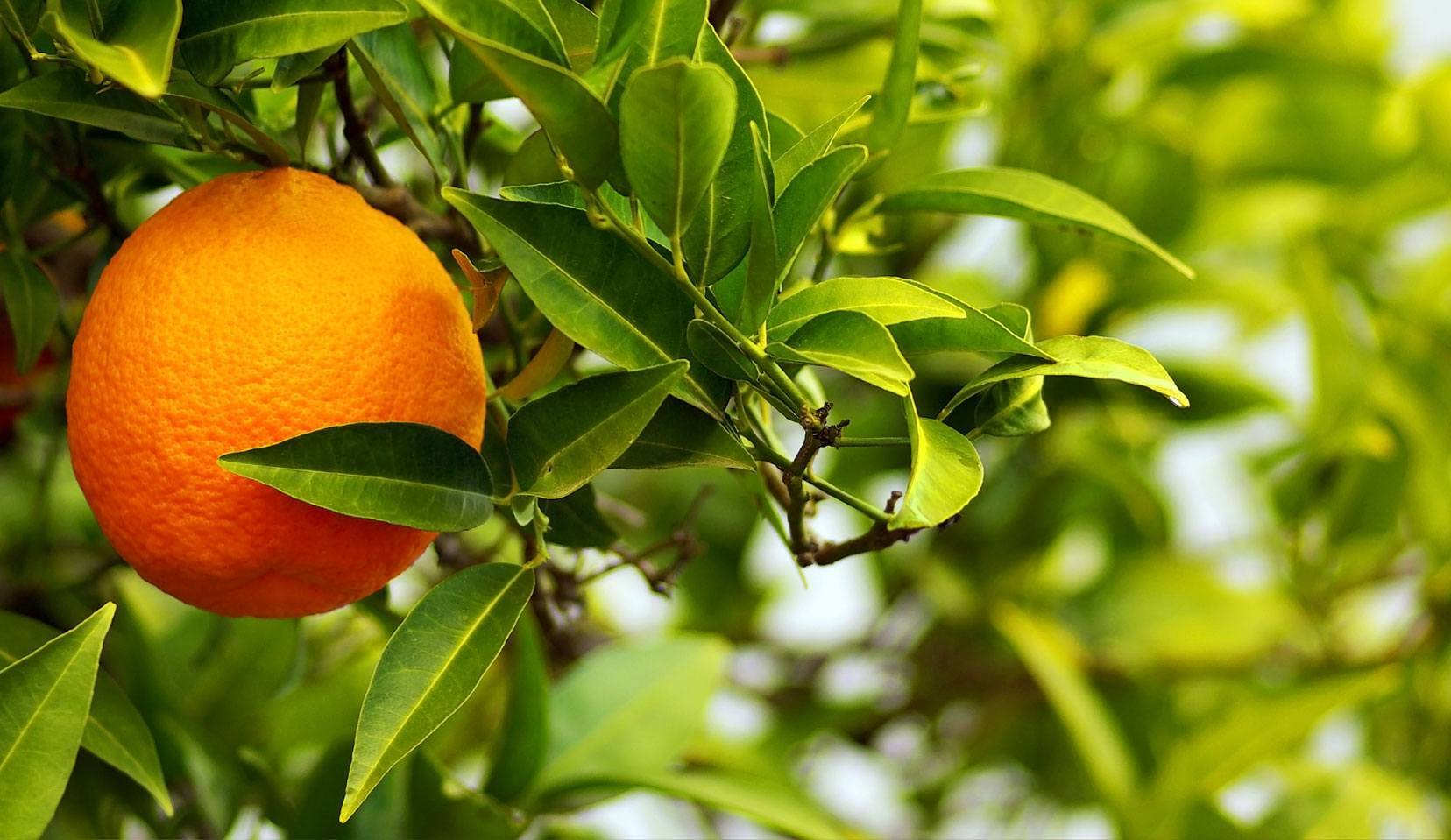 bigaradier feuille et fruit