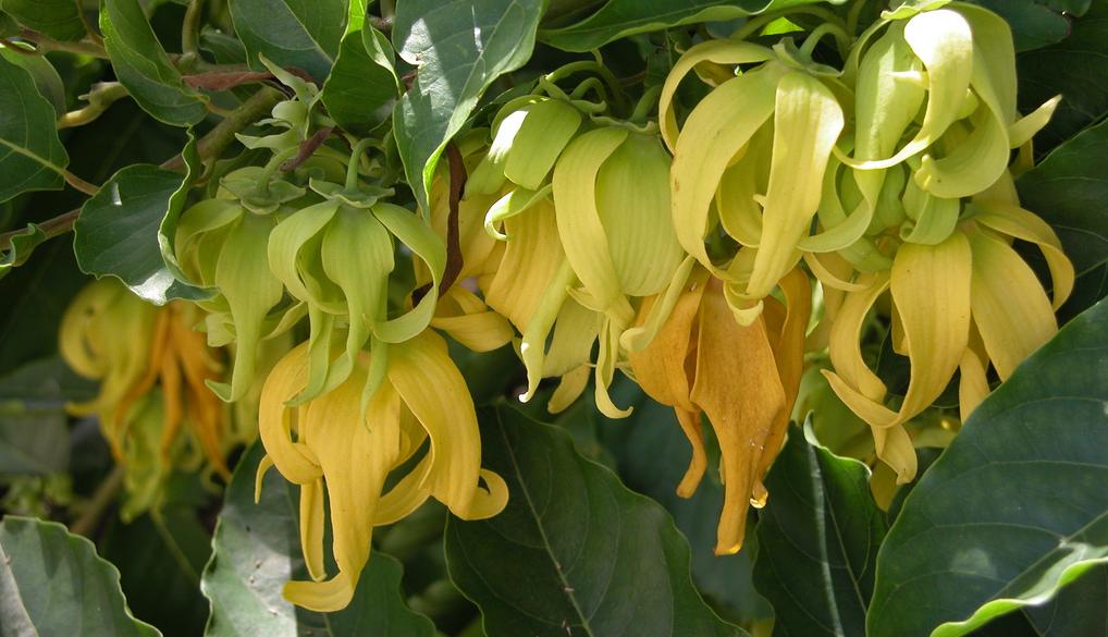 Yang-ylang : un parfum des îles anti-fatigue et anti-douleur