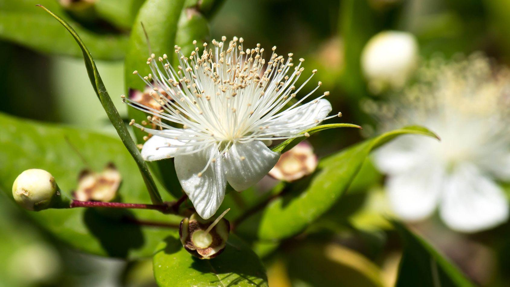 L'huile essentielle de myrte vert, le réflexe contre la toux grasse