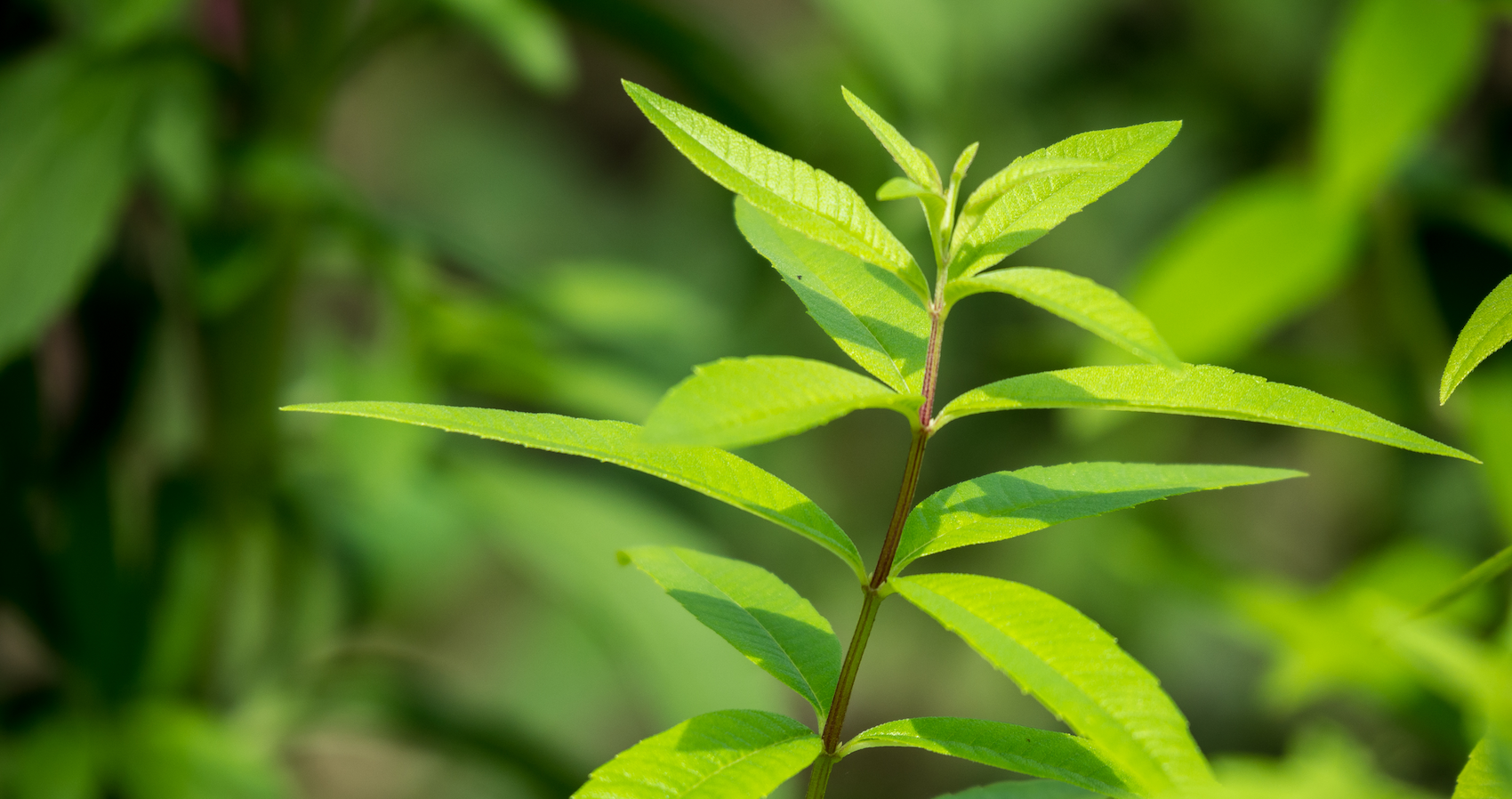 La verveine citronnée ou odorante, une huile essentielle 'rescue'