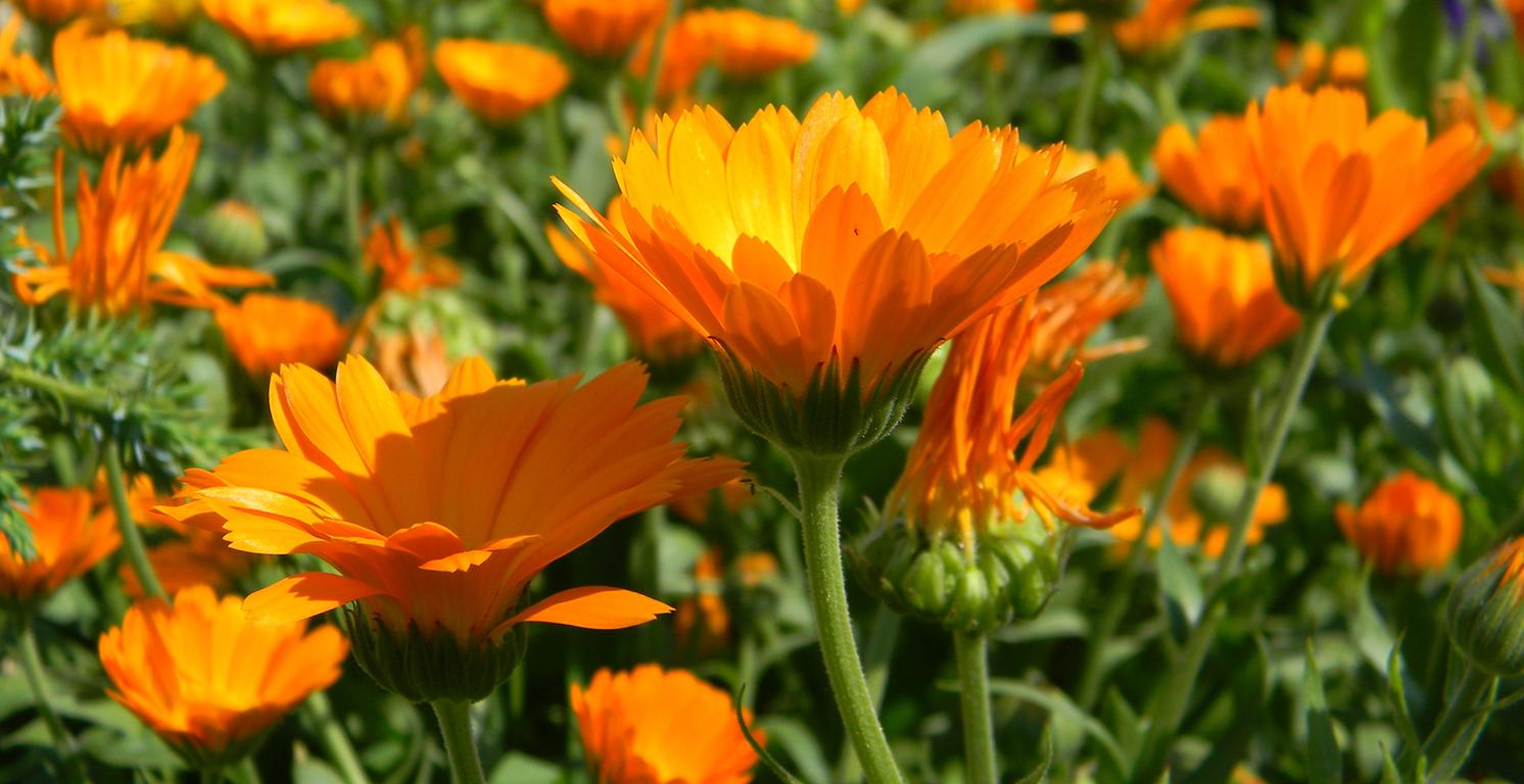 Aromaquiz – quelle est cette fleur ?
