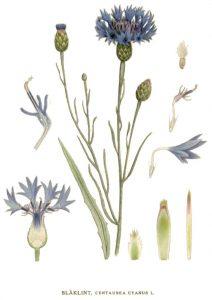 bleuet planche botanique