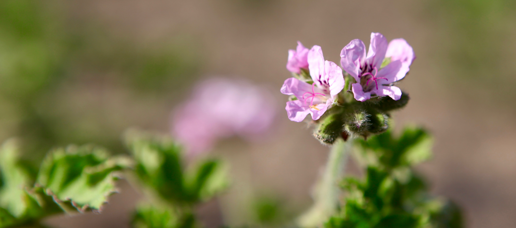 L'huile essentielle de géranium rosat, pour embellir et soigner votre peau