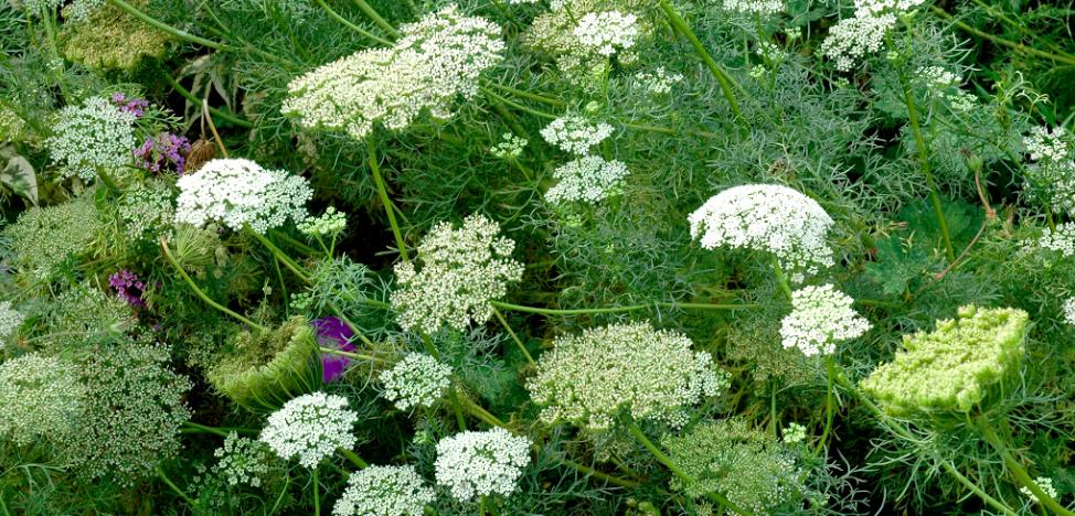 Apiacées : les propriétés des huiles essentielles par famille botanique