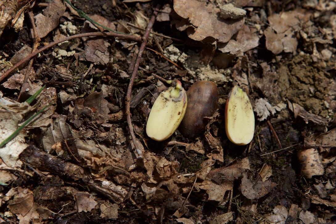 glands de chêne - comestibles après germination au printemps