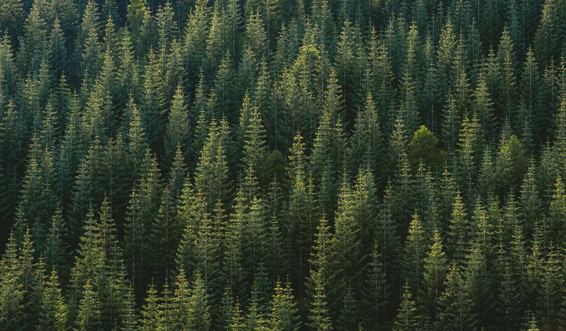 Abietacées : les propriétés des huiles essentielles par famille botanique