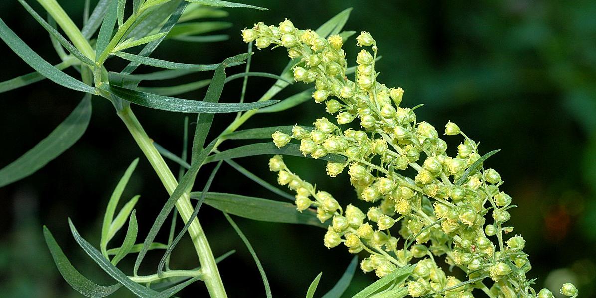L'huile essentielle d'estragon, contre les allergies et les troubles digestifs