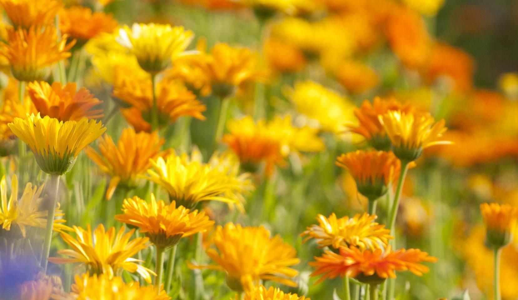 Astéracées : les propriétés des huiles essentielles par famille botanique