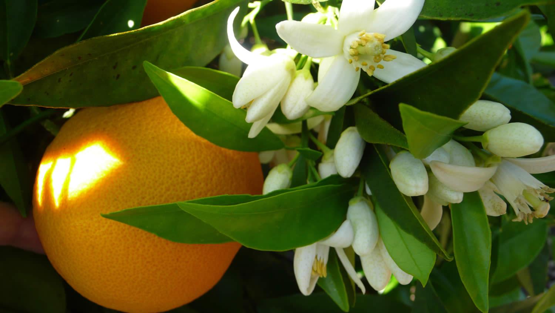 L'huile essentielle de néroli : un apaisant nerveux aux vertus aphrodisiaques