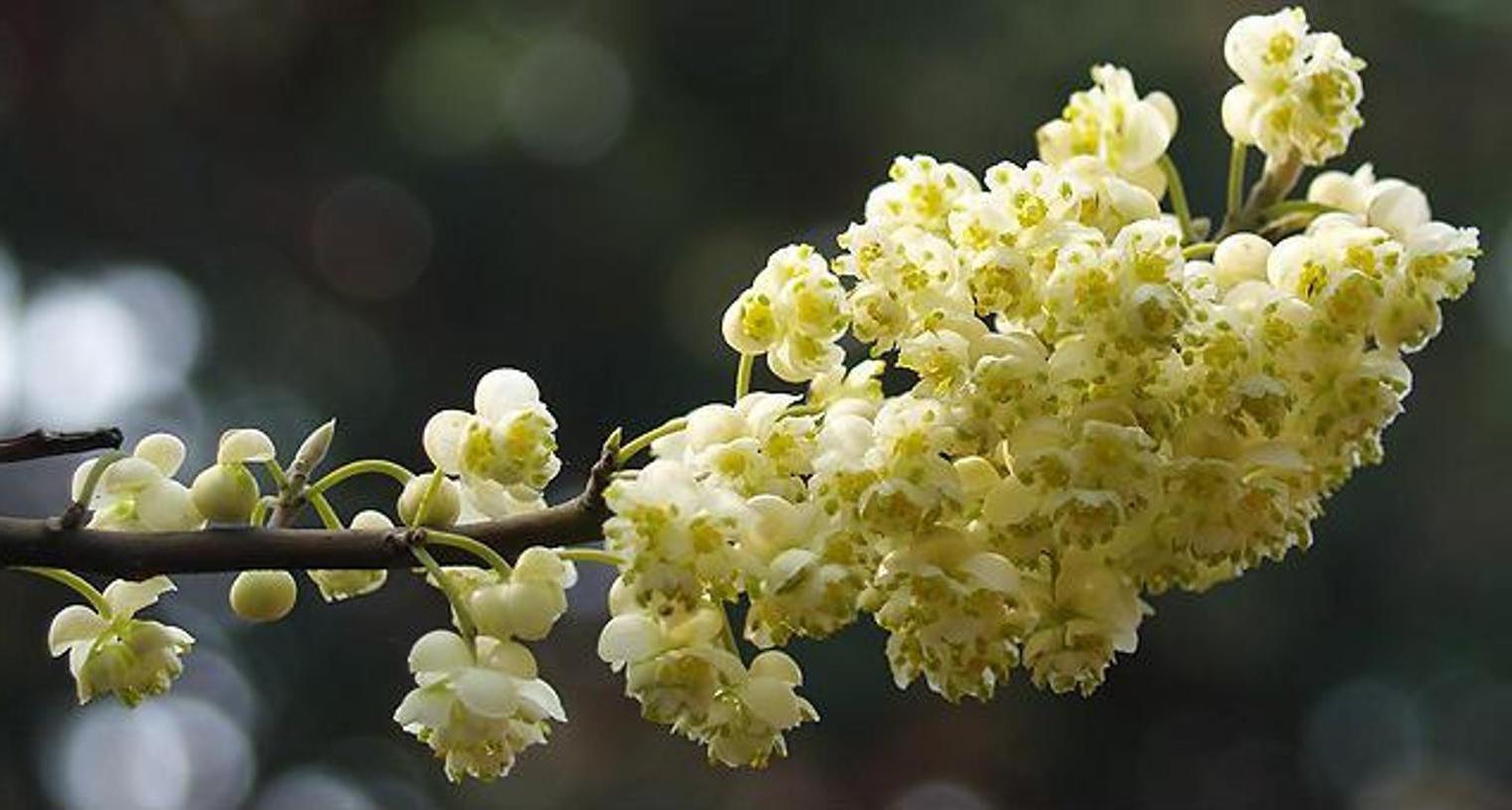 La litsée citronnée ou verveine exotique en huile essentielle