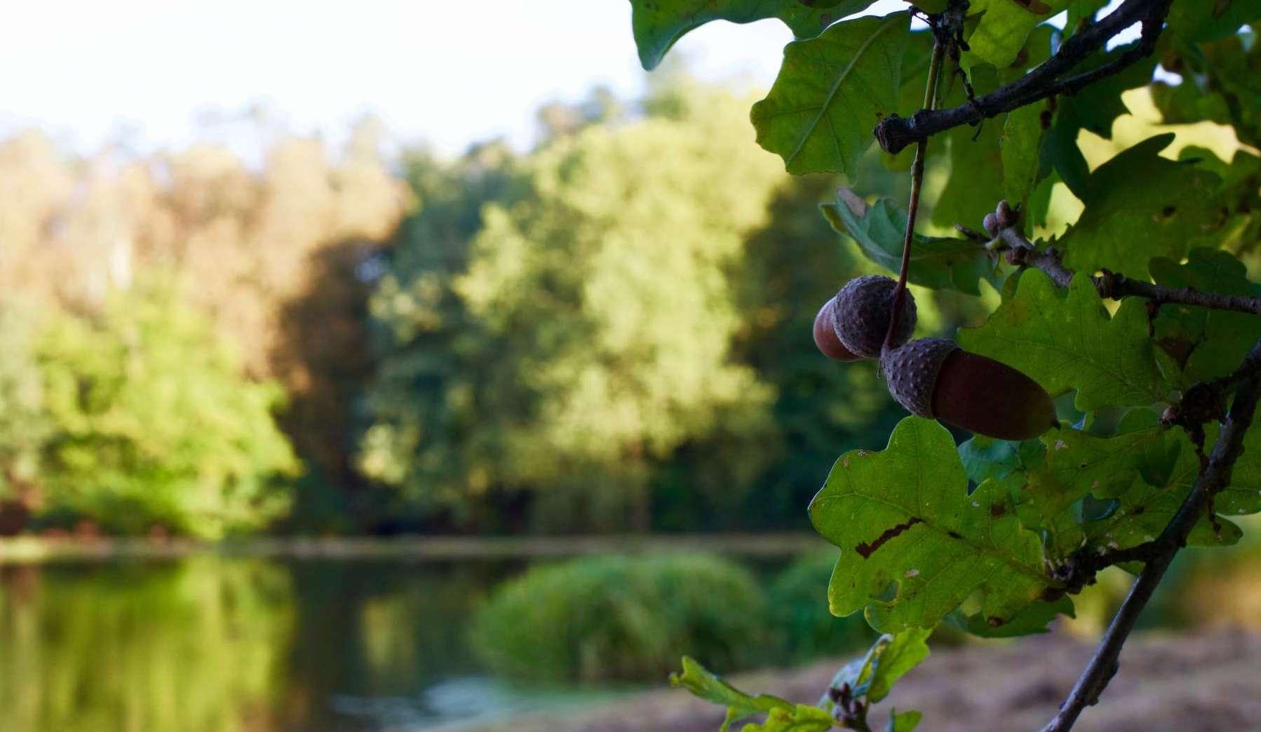 Gland de chêne au parc de Woluwe