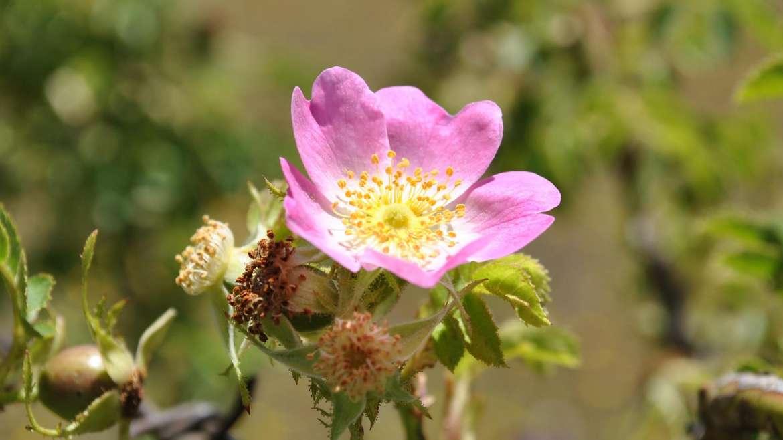 L'huile de rose musquée : à l'attaque des rides et des cicatrices