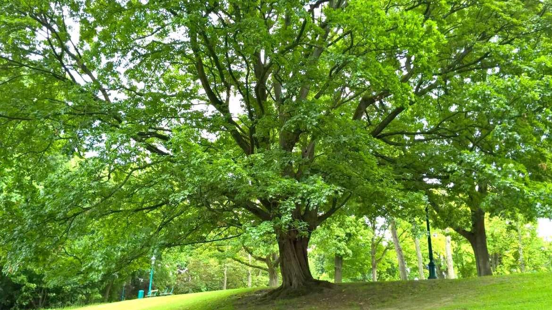 Marche à la découverte des grands arbres de Bruxelles