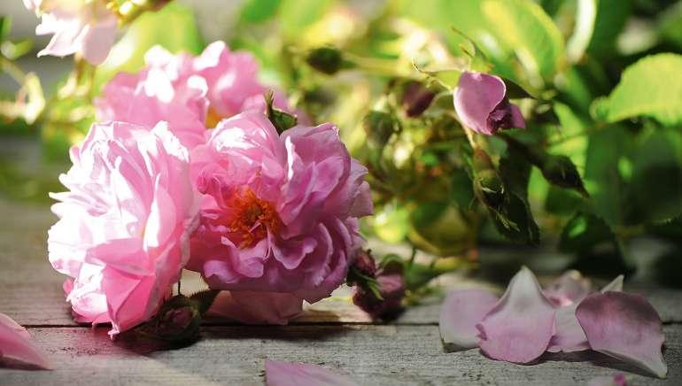 Sensuelle, régénérante et luxueuse : l'huile essentielle de rose de Damas